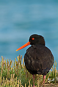 Variable Oystercatcher, Aramoana