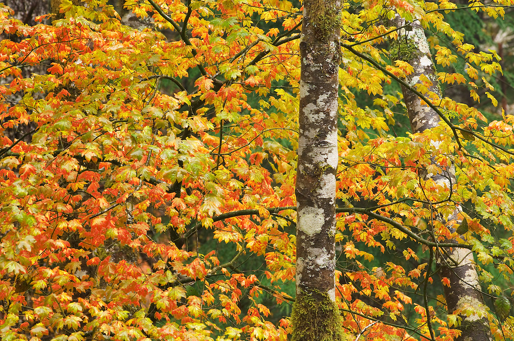 Vine Maple and Alder trees in Autumn along Wind River, Gifford Pinchot National Forest, Cascade Mountains, Washington.