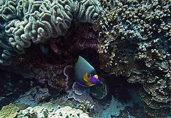 A Yellowmask Angelfish (Pomacanthus xanthometopon) defends its territory at Mermaid Reef.