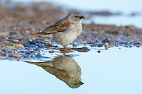 Southern Grey-Headed Swallow standing on the waters edge and reflected in the water, De Hoop Nature Reserve, Western Cape, South Africa
