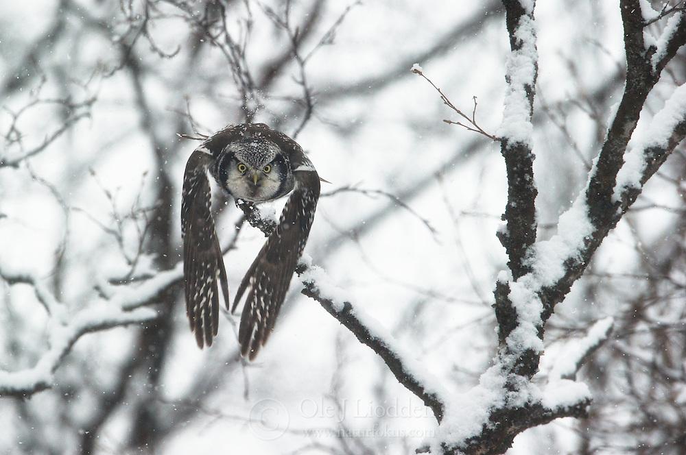 Northern Hawk Owl (Surnia ulula), Finnmark, Norway