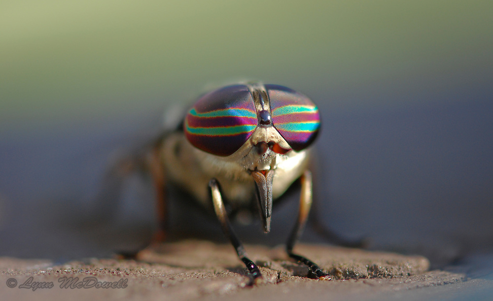 Taking a moment to appreciate the colors of Horse Fly Eyes in morning sun, getting closer