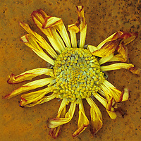 Single tatty drying red and yellow flowerhead of Chrysanthemum lying on rusty metal sheet