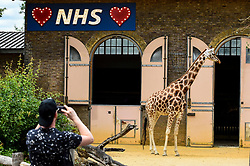 © Licensed to London News Pictures. 15/06/2020. LONDON, UK. A visitor photographs one of the two giraffes, Mollie and Maggie, on the reopening day of ZSL London Zoo, the first day that the zoo has been open to the public since March following the coronavirus pandemic lockdown. The staff have applied social distancing signage around the premises for the safety of visitors. The UK government has relaxed Covid-19 restrictions allowing non-essential shops, zoos and safari parks to reopen to the public from 15 June.  Photo credit: Stephen Chung/LNP