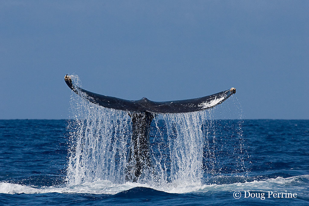 humpback whale, Megaptera novaeangliae, with water streaming off tail flukes as whale slaps water with tail, Kona, Hawaii ( Central Pacific Ocean ); caption must include notice that photo was taken under NMFS research permit #587