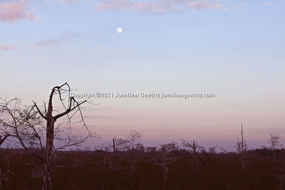 Bald Cypress forest in Everglades National Park, Florida, under a rising moon. WATERMARKS WILL NOT APPEAR ON PRINTS OR LICENSED IMAGES.