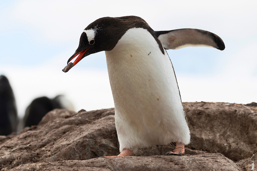 A Gentoo penguin carries a rock to his nest on Friday, Feb. 9, 2018 in Fort Lockroy, Antartica. (Photo by Ric Tapia)