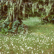 Many parts of Port Houghton were like a magical fairyland, where only the smallest and lightest of footprints would be permissible to preserve the delicate beauty. It is quite clear from the vegetation that it a particularly wet place that receives maximum amounts of localised rainfall. The trees were the mossiest that I saw anywhere in Southeast Alaska. This was my most successful plant entry into the BBC Wildlife Photographer of the Year Competition, reaching the final stage of judging.
