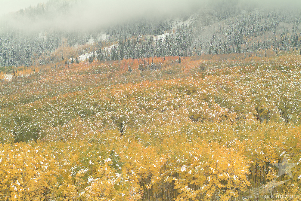 light snowfall on autumn trees on Bonanza Flats, Utah, USA