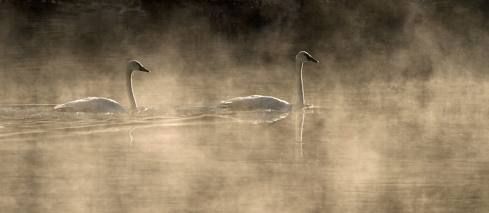 A mated pair of trumpeter swans navigate the steamy waters of the Yellowstone River. Trumpeter swans form monogamous pair bonds that can last for many years, and in some cases can last for life.