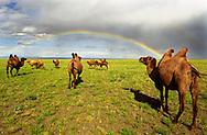 Mongolei, MNG, 2003: Kamel (Camelus bactrianus). Eine Gruppe von Kamelen vor einem Regenbogen, dunkle Regenwolken am Himmel gemischt mit der Abendsonne, sehr regnerischer Sommer, was äußerst selten für diese Region ist. | Mongolia, MNG, 2003: Camel, Camelus bactrianus, group of camels walking towards a rainbow, dark heavy rainclouds in the sky, mixed with the late light of the evening, very rainy summer, unusual for this region, South Gobi. |