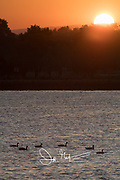 Canada geese swim along the water as the sun rises behind them through the nearby trees.