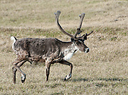 A bull caribou on the tundra,Arctic Coastal plain, Arctic National Wildlife refuge,Alaska