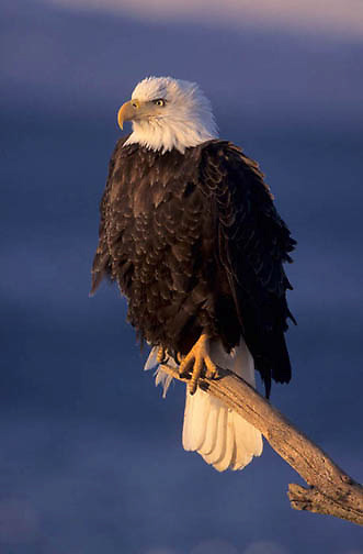 Bald Eagle, (Haliaeetus leucocephalus) Adult perched on branch. Alaska.