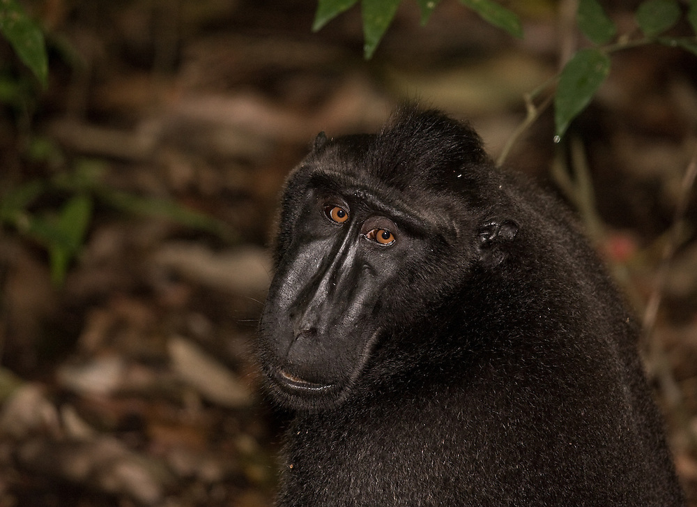 Crested black macaque - Macaca nigra - in north Sulawesi