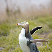 Yellow Eyed Penguin on Otago Peninsula