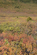 Fall color on the tundra, Denali National Park, Alaska