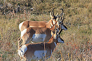 Three Buck Pronghorns (antelope) in habitat