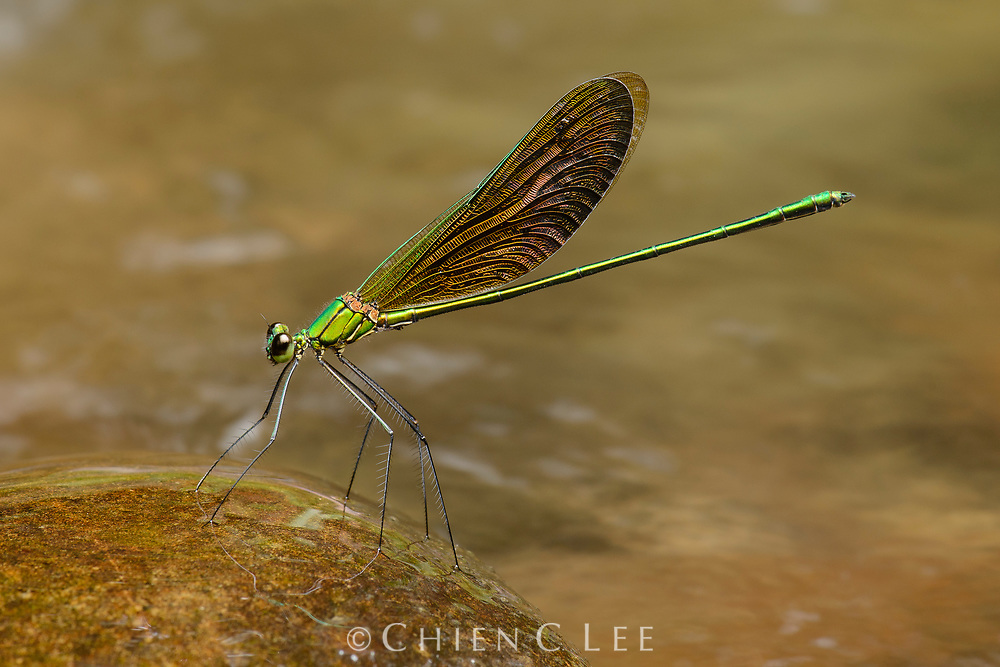 Perhaps one of the most beautiful of all damselflies, Neurobasis longipes is an inhabitant of clear rocky streams within lowland rainforest. The males (pictured here) utilize their metallic golden and green wings in courtship displays above swift flowing water.
