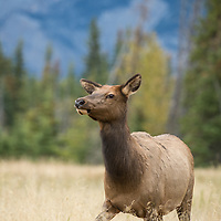 cow elk in grass mountain background