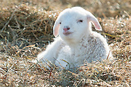A newborn lamb lies in a field on a cold winter afternoon at Banbury Cross Farm in Goshen, New York.