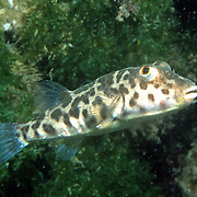 Caribbean Puffer inhabit shallow areas of sand and/or mud mixed with seagrass and algae in Greater Antillies, coastal South and Central America including off shore islands; picture taken Los Frailes, Margareta, Venezuela.