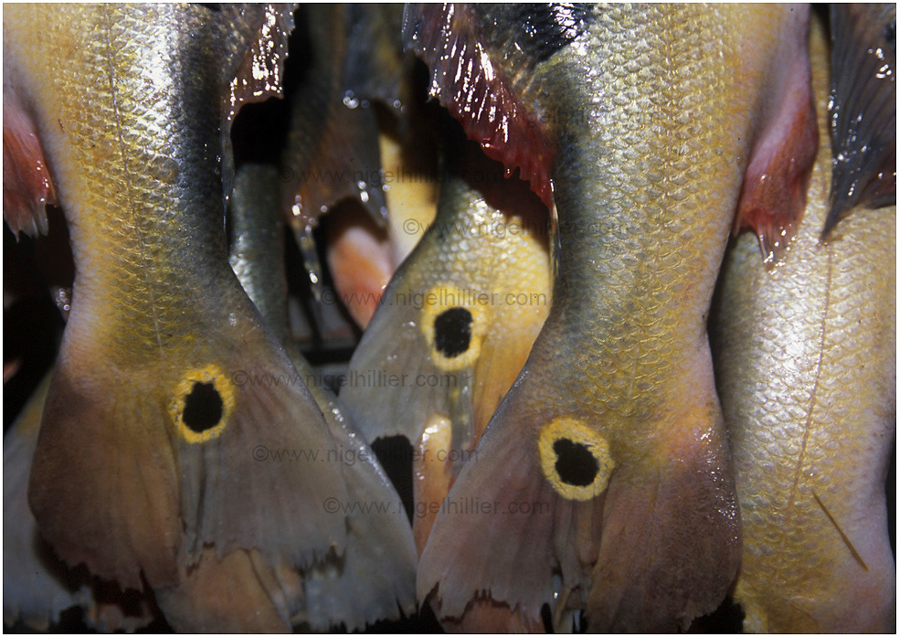 copyright: Nigel Hillier.Brazil,Para,Belem.. Ver-O-Peso market.colourful fish tails, close up