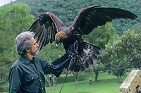Golden Eagle (Aquila chysaetos)with falconer, Monterrey, Nueva Leon, Mexico - Photo: Peter Llewellyn
