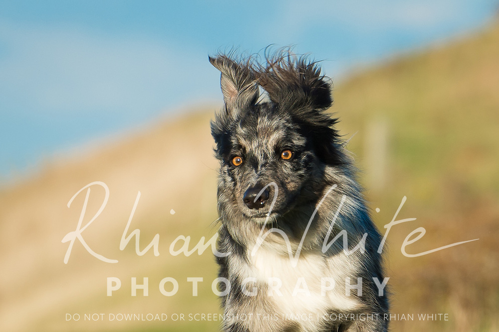 Images of Milo, the Australian Cattle dog, at Devil's Dyke