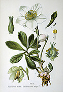 Christmas Rose or Black Hellebore (Helleborus niger) winter flowering herbaceous perennial native to Europe and Asia. From Amedee Masclef 'Atlas des Plantes de France', Paris, 1893.