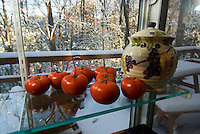 The last of the vine grown tomatoes of the season
