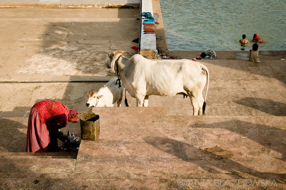 India, Pushkar. Cows and pilgrims at the ghat.