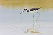 An Hawaiian stilt (Himantopus knudseni), also known as an Ae'o, is reflected in the water of the Kanaha Pond Wildlife Sanctuary in Wailuku on the Hawaiian island of Maui. The Hawaiian stilt is considered endangered, with fewer than 1,500 currently found in the Hawaiian islands. It feeds on the larvae of dragon flies, small fish, worms, crabs, water insects, and the seeds and roots of water plants.