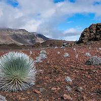 The Silverswords (Argyroxiphium sandwicense) are beautiful plants.