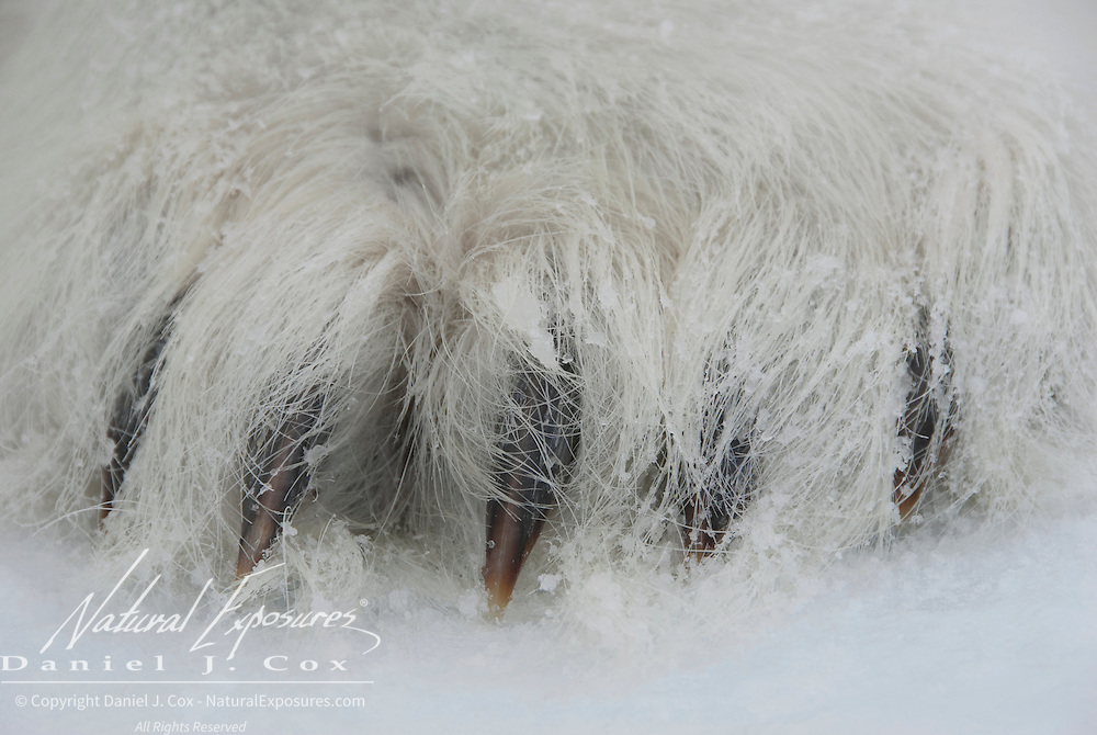 A polar bear paw at ice level showing the claws they use to catch seals. Beaufort Sea ice pack, Kaktovik, Alaska