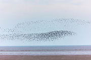 Wash Estuary at Snettisham - large flocks of Knots Calidris canutus, and Dunlins, Calidris alpina, gather in Norfolk, UK