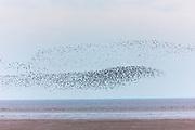 Wash Estuary at Snettisham - large flocks of Knots Calidris canutus, and Dunlins, Calidris alpina, gather in Norfolk, UK