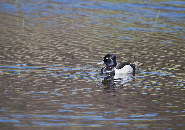 "Ring-necked Duck (Aythya collaris)  drake.  16""  in profile, crown comes to a point.  Male:  All dark execpt for white vertical mark in front pf light gray sides:  broad white band encircles grayish bill."