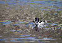 """Ring-necked Duck (Aythya collaris)  drake.  16""""  in profile, crown comes to a point.  Male:  All dark execpt for white vertical mark in front pf light gray sides:  broad white band encircles grayish bill."""