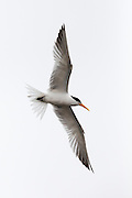 Elegant Tern in flight, Bolsa Chica