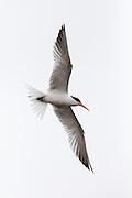 Elegant Tern in flight, Bolsa Chica
