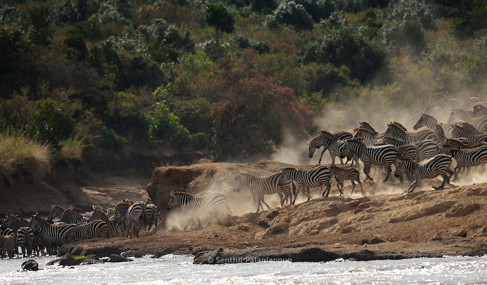 Common Zebra (Equus quagga) crossing Mara river, Kenya