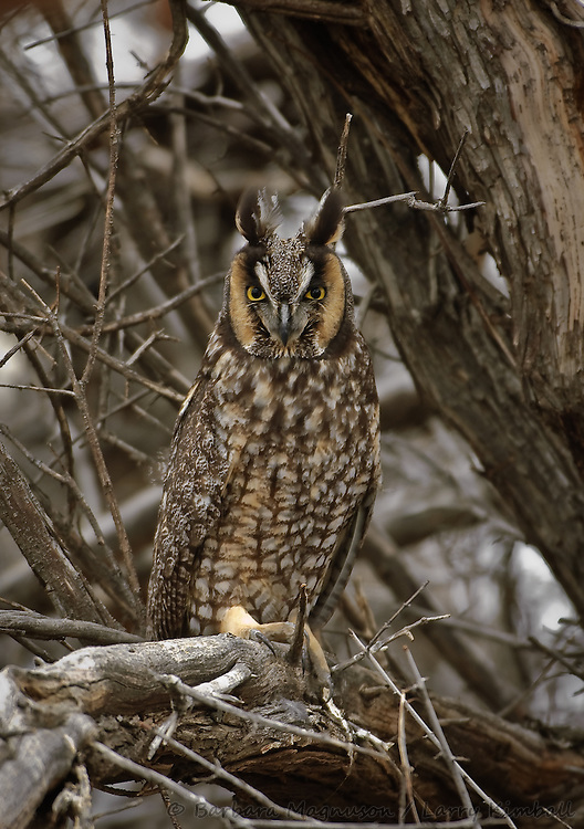 Long-eared Owl [Asio otus] perched in day roost; Smith Valley, Nevada