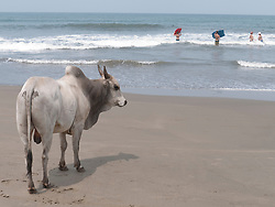 Bull on the beach, Little Vagator Beach, Goa.