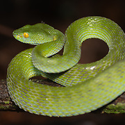 Trimeresurus macrops is a venomous pit viper species endemic to Southeast Asia. No subspecies are currently recognized. Common names include large-eyed pitviper and green pit viper.