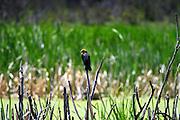 A vibrant Blackbird framed against multiple shades of green
