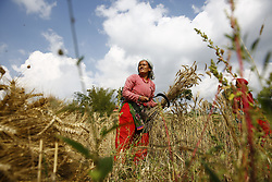 May 19, 2017 - Lalitpur, Nepal - A Nepalese woman farmer uses a sickle to harvest wheat in Lalitpur, Nepal. (Credit Image: © Skanda Gautam via ZUMA Wire)
