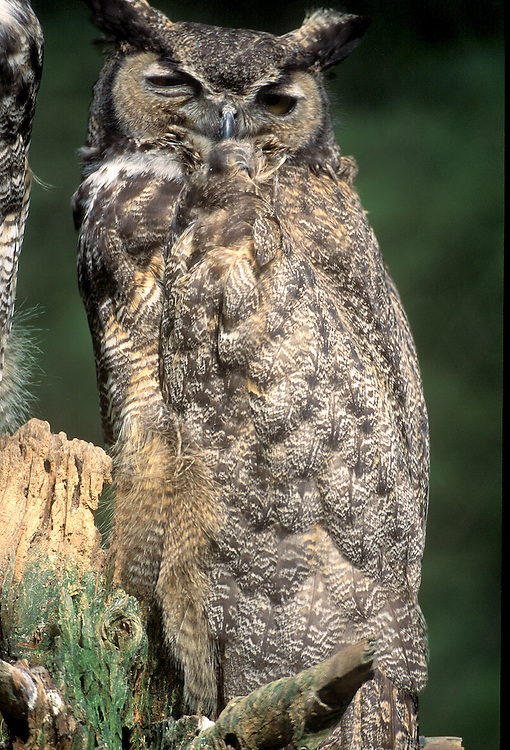 Great horned owl (Bubo virginianus) in captivity,  United States of America, North America