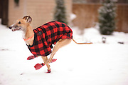 Greyound Rescue Fostering, First Romp in the Snow