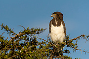 Black-chested snake eagle (Ciraetus pectoralis) from Maasai Mara, Kenya.